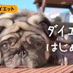ハナは肥満!?パグ犬のダイエット計画。パグダイエット#0 | パグ犬ハナ Pug