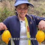 """云南怒江:农村金灿灿""""益母果"""",祛痘、减肥、美白保养水果"""