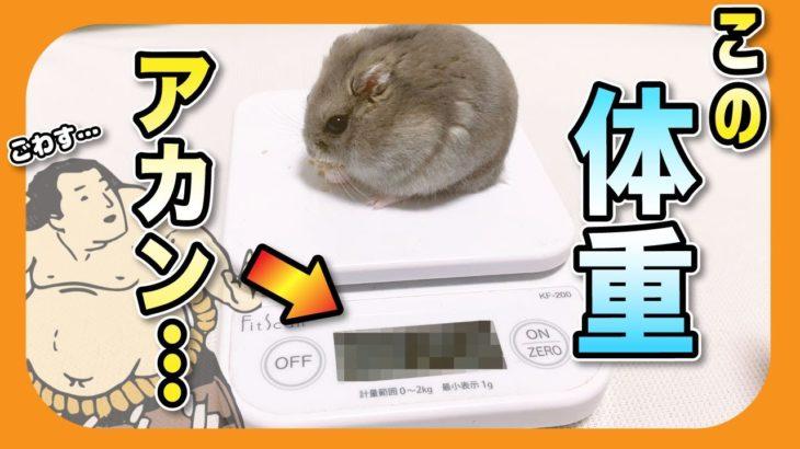 こんなになったらアカン…!太ったハムスターはダイエットしなきゃアカン…!【りんた布】