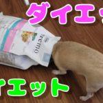 173日目/ダイエットの体重管理用のフードをチワワ犬(スムチー)に。I gave chihuahu a new food for diet purpose.