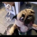 バーベキューで肉の美味さに歓喜するもスパルタダイエットが待っていたパグ犬ぷぅ Pug|田舎暮らし