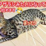 【ベンガル猫】ロゼのダイエット計画‼️