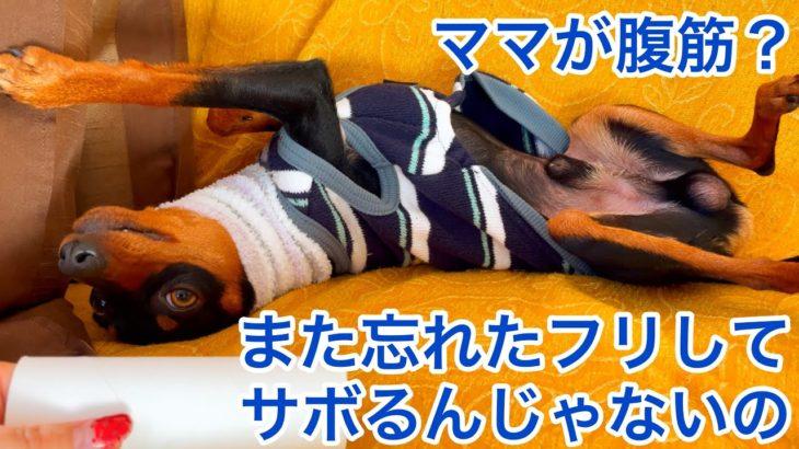 【ミニピン】ダイエット企画第八弾②/飼い主チャレンジ/大河1歳 ♂